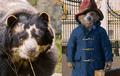 Osito peruano que inspira a la película Paddington está en peligro de extinción.
