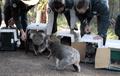 Los koalas que fueron evacuados por los incendios en Australia son llevados de vuelta al bosque.