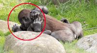 Pareja de gorilas derrochan amor.