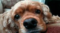 Las cataratas son uno de los principales problemas oculares que afectan a los cachorros