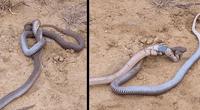 Pelea entre dos cobras se convirtió en viral.