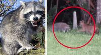 Mapache se enfrentó a muerte con gato salvaje.