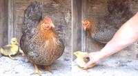 Mira la valiente reacción de esta mamá gallina con sus patitos adoptados.