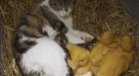 """Gata adopta a un par de """"patitos"""" y los amamanta como si fueran sus bebés."""