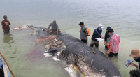 Hallan una ballena muerta en Indonesia, la abren y descubren lo peor del hombre.
