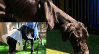 Perro maltratado por sus dueños se había comido parte de su pata por hambre