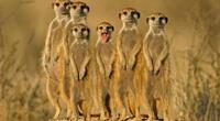 """Captan el instante en que un grupo de suricatos hacen una """"danza de guerra"""" antes de atacar a una cobra (VIDEO)"""