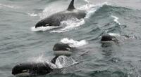 Captan el instante en que un grupo de ballenas asesinas persiguen a un bote y pescadores entran en pánico (VIDEO)