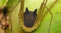 No es una araña con cabeza de lobo: Conoce al increíble murgaño del Amazonas (VIDEO)