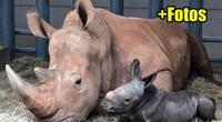 Al borde de la extinción, nace un Rinoceronte Blanco en parque de Disney