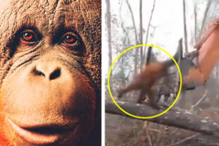 El simio solo siguió a su instinto de supervivencia.