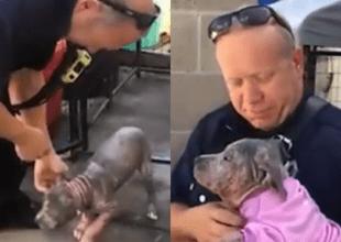 Mascota de raza pitbull sorprendió por su ternura-