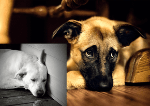 Especialistas señalan que los perros también se deprimen