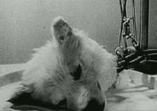 """Perro sin cabeza vuele a la vida"": el experimento Sergei Brukhonenko."