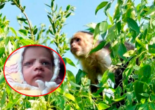 Mono robó a un bebé de doce días de nacido.