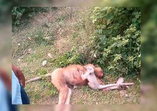 El bebé mono fue rescatado por el departamento forestal del gobierno de Uttar Pradesh, mientras que el el cuerpo de su madre fue incinerado
