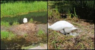 Activistas denuncian que Cisne hembra murió de pena después de que sujetos rompieran sus huevos [FOTOS]