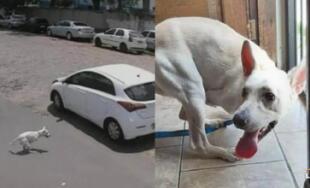 Perro sin patas delanteras es cruelmente abandonado en medio de la pista (VIDEO)