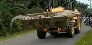 Capturan cocodrilo gigante de más de 4 metros que tuvo que ser traslado con una excavadora (VIDEO)
