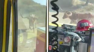 ¡Algo que no ocurre todos los días! Toro persigue a bomberos que se encontraban combatiendo incendio (VIDEO)