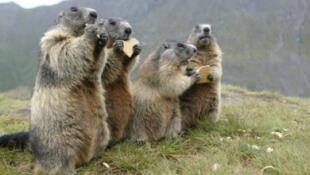 ¡Sorprendente hallazgo! Científicos descubren que las marmotas se comunican y tienen sus propios dialectos