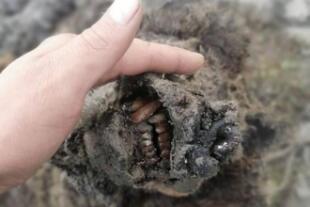 ¿Alguna vez habías visto algo así? Científicos hallan la momia de un oso de la Edad de Hielo (FOTOS)