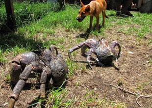 ¡No se lo esperaban! Familia hace parrillada y el olor atrae a una horda de cangrejos gigantes (VIDEO)