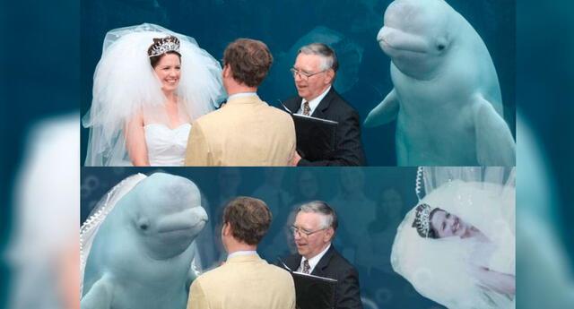 Una ballena beluga apareció en su boda e Internet 'enloqueció' en meme