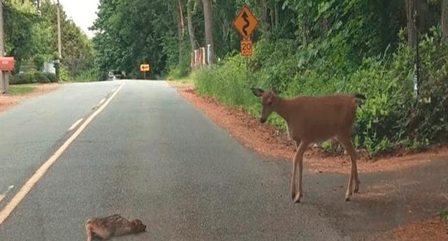La cierva se dio cuenta que su pequeño hijo estaba en peligro y lo ayudó a cruzar la carretera