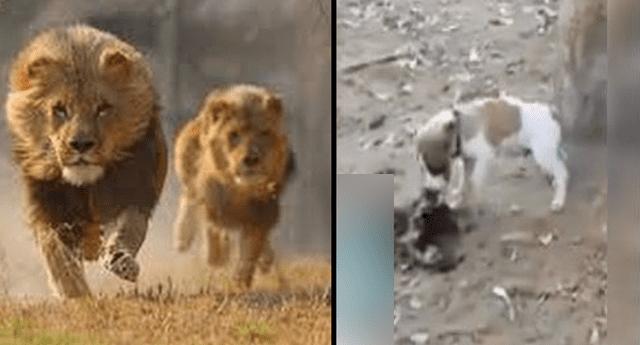 Esta fue la increíble reacción de los leones.