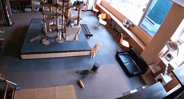cámaras de seguridad de un local gatuno muestra el momento en que varios felinos presientes un terremoto en Japón antes de que este ocurra