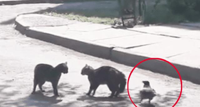 Cuervo se metió en pelea de gatos y acabó avergonzado.