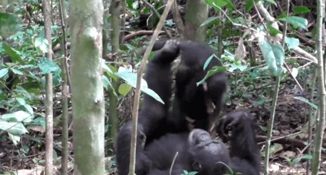 Chimpancés conmovieron a las redes con su tierno juego