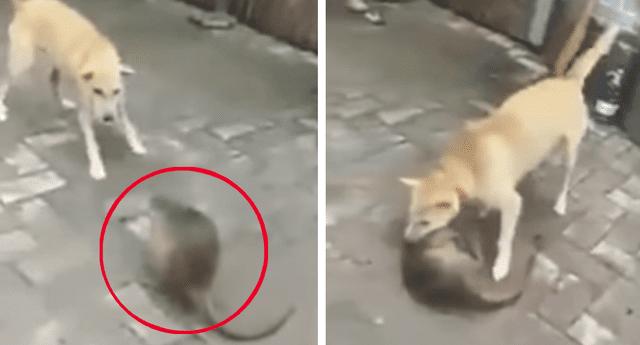 Perro mata a la rata más grande del mundo y su aspecto es aterrador.
