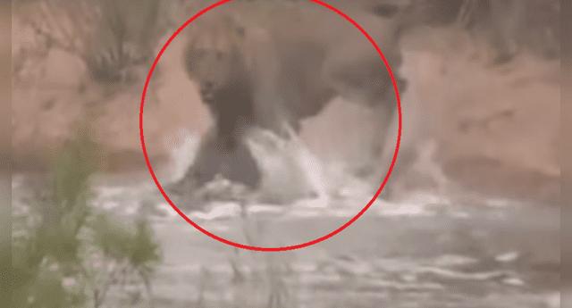 León es atacado por un cocodrilo en río, pero se venga de la peor forma.