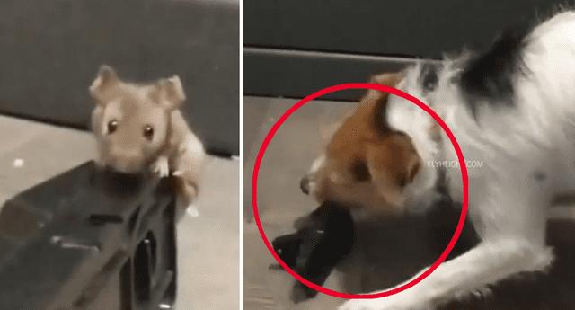 Puso trampa a ratón y mandó a su perro a matarlo, desenlace fue trágico.