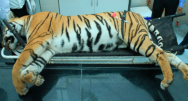 Más de 150 personas se movilizaron durante meses para cazar a la tigresa, de nombre T1