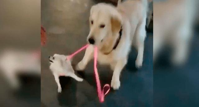 """Perro """"raptó"""" a otro delante de su dueña y protagonizó una divertida escena."""
