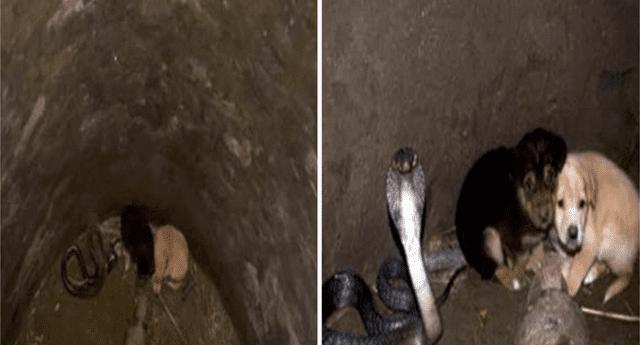 """Dos """"perritos"""" cayeron en pozo seco y una cobra los cuidó por 48 horas."""
