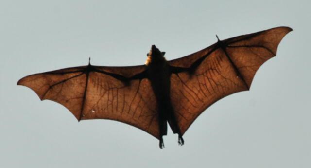 "¡Batman existe!: Captan murciélago de ""tamaño humano"" en Filipinas (FOTOS)"
