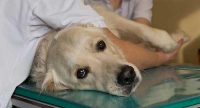 Perro contagiado de coronavirus por sus dueños es sacrificado