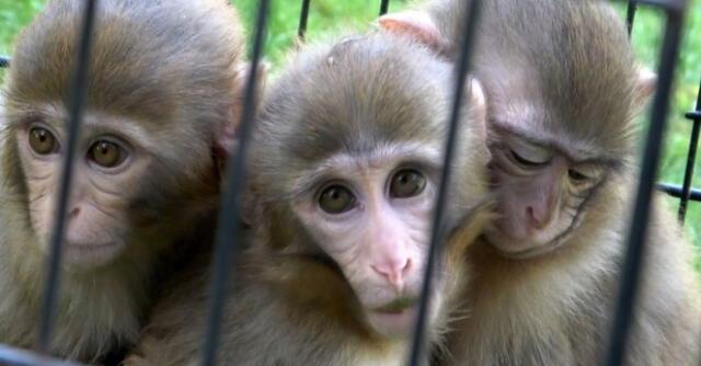 Dos monos protegen a su hermano con síndrome de Down en zoológico.