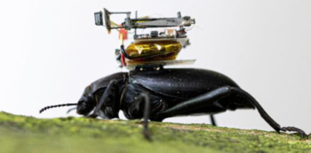Científicos crean una diminuta cámara para escarabajos que permitirá investigar más sobre la vida de estos animales (VIDEO)