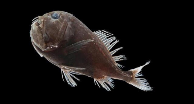 Científicos descubren peces capaces de absober el 99% de la luz que les llega para volverse ultra negros (FOTOS)