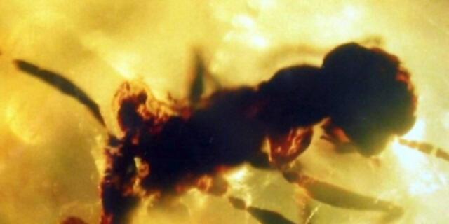 """Hallan fósil conservado en ámbar de la famosa """"hormiga del infierno"""" que data de hace 99 millones de años (FOTOS)"""