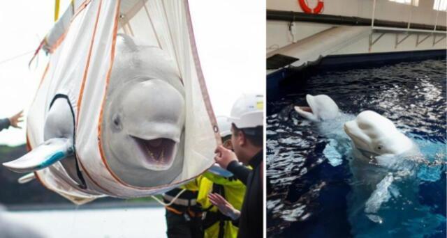 ¡Sus caras lo dicen todo! Ballenas belugas son rescatadas y se vuelven virales por mostrarse felices (VIDEO)