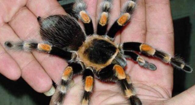 """¡También sufren! Tarántula se queda """"calva"""" por el estrés que sufrió debido al tráfico ilegal de animales (FOTOS)"""