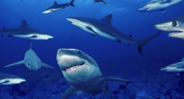 ¿Hacen amigos? Equipo de biólogos descubre que los tiburones son capaces de establecer vínculos duraderos