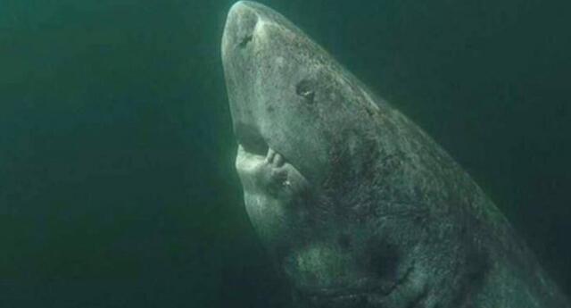 ¡Podría superar los 500 años de vida! Este tiburón es el vertebrado más viejo que se conoce hasta ahora (VIDEO)