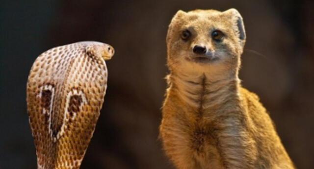 ¡Como en las películas! Jabalíes y cuervos se unen para salvar a cobra de ser asesinada por una mangosta (VIDEO)